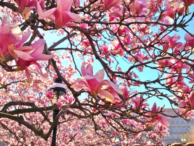 Magnolias in DC